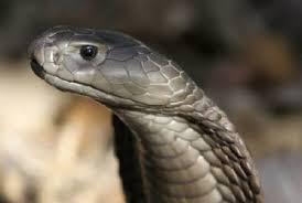 灰色のコブラ