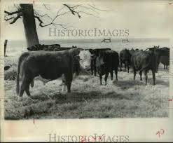 1967 press photo texas prison system cattle hca62781
