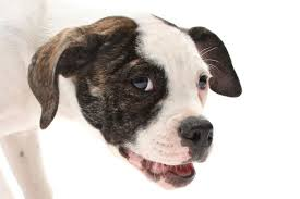 Facts About The American Bulldog