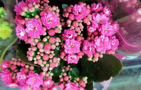Почему не цветет каланхоэ и что делать в домашних условиях ...