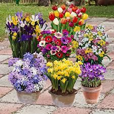 garden bulbs. Complete Spring Flowering Bulb Collection - 300 Bulbs In 7 Varieties Garden