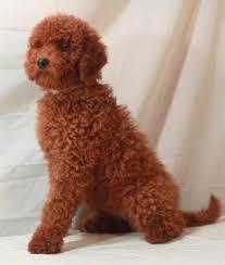 red moyen poodles