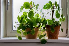 chinese money plant symbolism and
