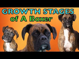 Boxer Puppy Growth Chart The Growing Stages Of A Boxer 2 Months 2 Years Brock The Boxer Dog