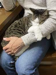 猫 膝 の 上 で 寝る