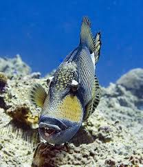 triggerfish bite. Beautiful Triggerfish So  Intended Triggerfish Bite A
