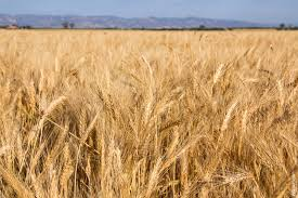 california revenues 351 million lower than expected if current climate trends continue and all other variables such as wheat price hold steady