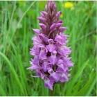 Dactylorhiza purpurella - Orchis purple