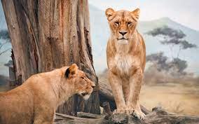 Wallpaper 4k African Lioness African ...