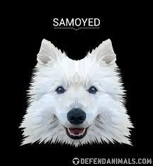 Samoyed Weight Chart Samoyed