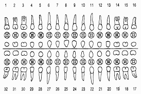 50 Uncommon Tooth Chart With Names