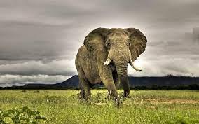 Wallpaper Elephant Images Hd wallpaper