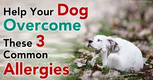 Help Your Dog Overcome These 3 Common Dog Allergies