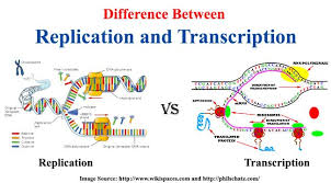 Venn Diagram Of Transcription And Translation Difference Between Replication And Transcription