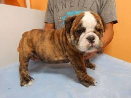 puppy breed english bulldog