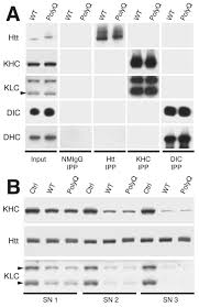 Kinesin Light Chain Antibody Endogenous Htt Does Not Interact With Molecular Motors A