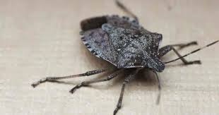 brown marmorated stink bug up close