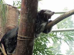 Small Picture Picture 3 of 9 Binturong Arctictis Binturong Pictures Images