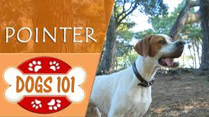 Dogs 101 - POINTER - Top Dog Facts ...