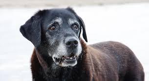 Labrador Retriever Life Span How Long Do Labradors Live