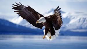 鷹の動物壁紙
