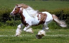 wild white horses running free. Wonderful Horses Free Brown  White Horse Running Wild Widescreen Horses With L