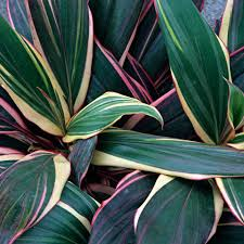 Design A Line Cordyline A Care And Growing Guide For The Cordyline Plant
