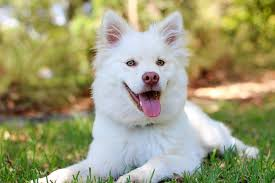 cute baby dog. Beautiful Cute Dog Puppy Lapphund Love Cute Baby White Cream Throughout Cute Baby Dog I