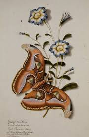 Zwergel windling. (Butterfly) Convolvulus humilis. Papil: Phaloena ...