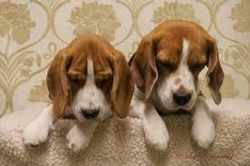 Home - Czarnowsky-Beagle