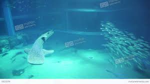 Asian aquarium whale sharks