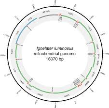 Limited And Unlimited Government Venn Diagram Firefly Genomes Illuminate Parallel Origins Of
