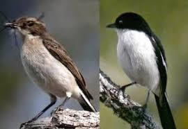 Tapi tetap ada beberapa perbedaan mendasar yang bisa sobat wikicau.com. Tips Mengetahui Perbedaan Fisik Burung Decu Kembang Jantan Dan Betina Kicau Mania