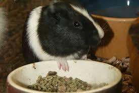 guinea pigs food water s