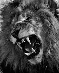 lion roaring black and white. Simple Roaring Lux In Tenebris  Bertolt Brecht Like A Lion Roaring Lion Tattoo  For Black And White I