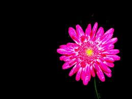 hot pink flowers wallpaper. Modren Hot Hot Pink Flower Wallpaper 01 1024x768 768x576 In Flowers