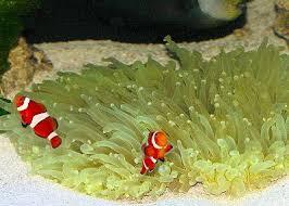 Magnificent Sea Anemone Heteractis Magnifica Ritteri