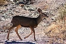 Mule Deer Wikipedia