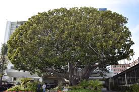 Moreton Bay Fig Tree - Santa Monica ...