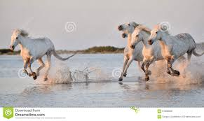 white horses running in water. Contemporary Water Herd Of White Horses Running Through Water In Sunset Light Throughout White Horses Running In Water O