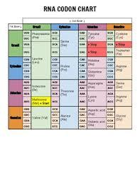 Biology Codon Chart