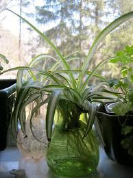 Phavorites and Plants  Spider Plant