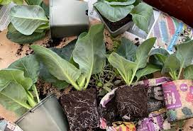 planting cabbage outside how and when