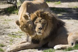 10 Facts About Lions In Love You May Not Know Sa Country Life