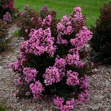 Crape Myrtle Colors Chart Lagerstroemia Perky Pink Ppaf Walters Gardens Inc