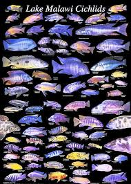 Lake Malawi Cichlids Ive Got Some Of These Guys In My