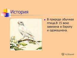 Презентация на тему Канарейки Всё самое интересное о канарейках  2 История В природе обычная птица В 15 веке завезена в Европу и одомашнена