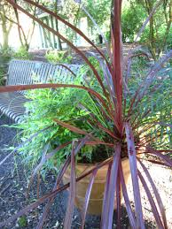 Design A Line Cordyline Design A Line Cordyline Southern Living Plants At Harry P