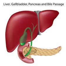 Печень и поджелудочная железа их роль в пищеварении Ваш домашний  Печень и поджелудочная железа их роль в пищеварении