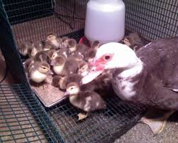 for chocolate muscovy ducklings